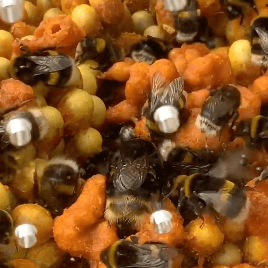Inside a live Bumblebee Hive – Look for the Queen Bumblebee!